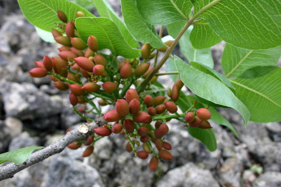 Pistachio: the fruit that comes from fire